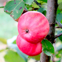 Apple Tree - Redlove Lollipop