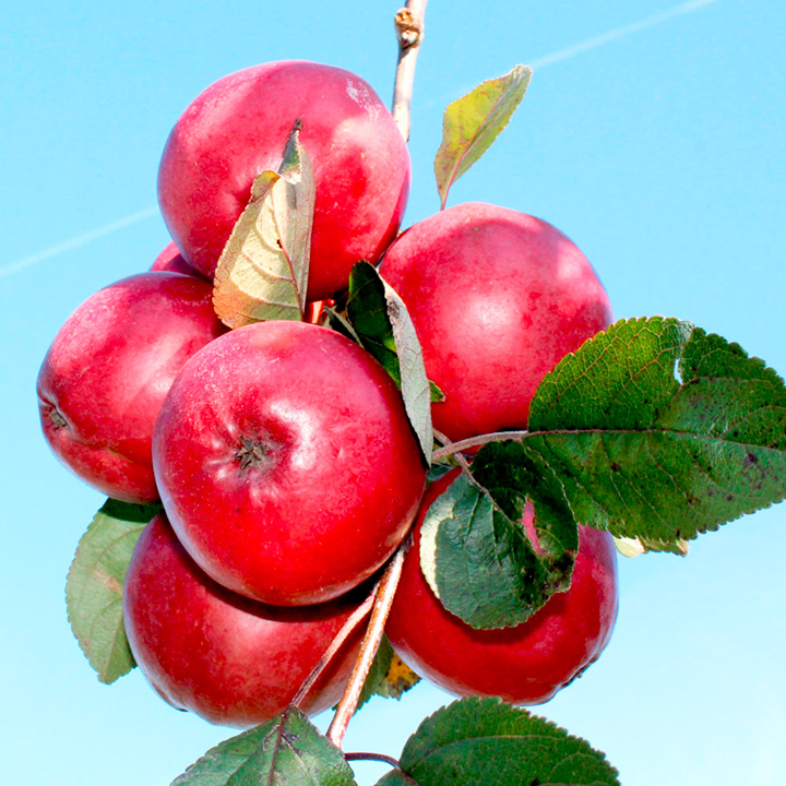 Apple Tree - Redlove® Odysso