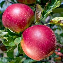 Gourmet Fruit Tree - Apple