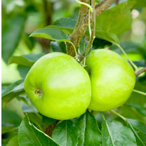 Image of Apple (Eating) Tree - Bountiful