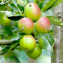 Image of Apple (Eating) Plant - Fiesta