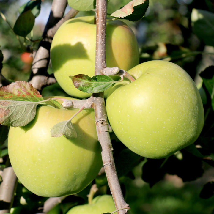 Apple Tree - Granny Swiss