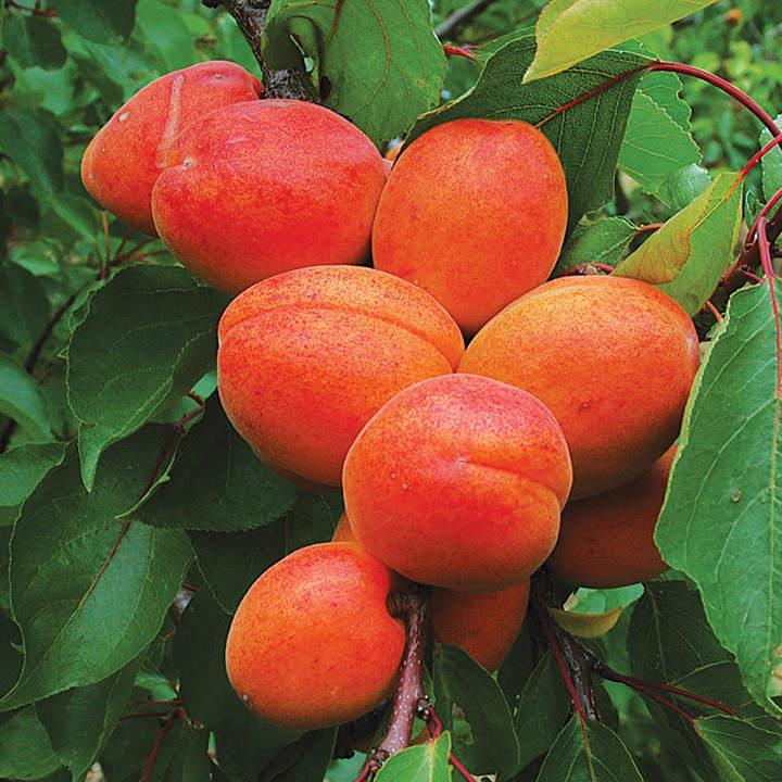 Apricot Tree - Tomcot