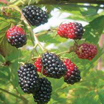 Blackberry Plant - Loch Ness