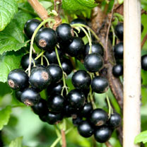 Blackcurrant Plant - Little Black Sugar