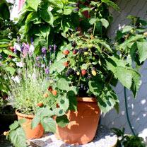 Blackberry Plant - Little Black Prince