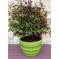 Image of Blueberry Plant - Cabernet Splash