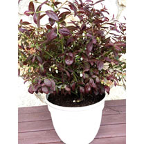 Blueberry Plant - Cabernet Splash