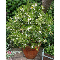 Mini Citrus Trees - Calamondin