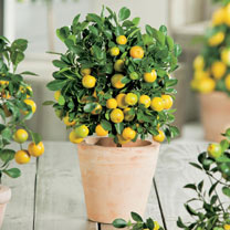 Calamondin Citrus Plant with Trellis