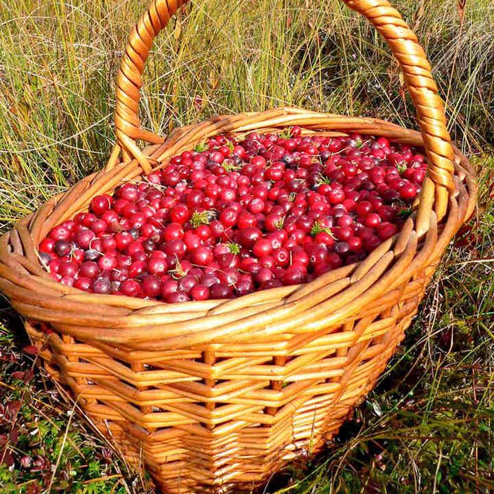 Garden Bush: Cranberry Plant