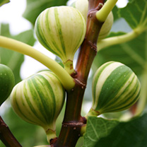 Image of Fig Plant - Panachee