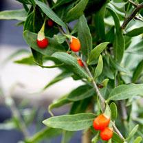 Goji Plant - Sweet Success