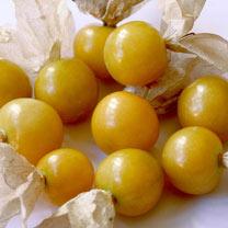 Goldenberry Plants - Little Lanterns