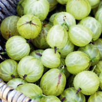 Image of Gooseberry Plant - Hinnonmaki Green