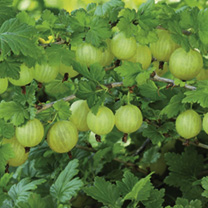 Image of Gooseberry Plant - Invicta