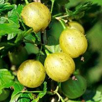 Gooseberry Plant - Lady Sun