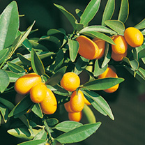 Citrus Tree - Kumquat