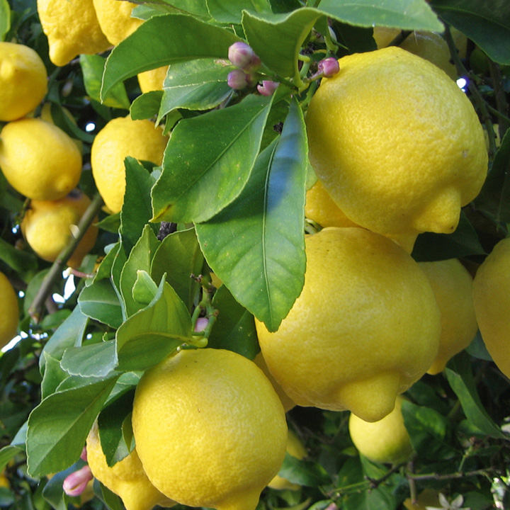 Lemon Plant with a bottle of Lemon Liqueur