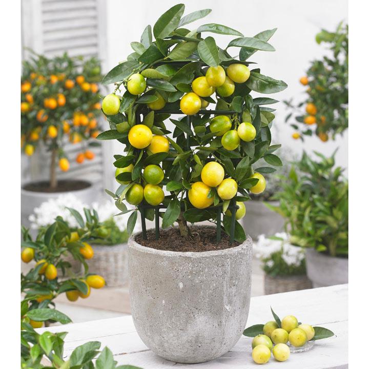 Limonella Citrus Plant with Trellis