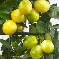 Citrus Tree - Limequat
