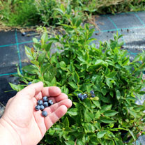 Lowberry Blueberry Plant - Little Blue Wonder