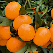 Image of Citrus Plant - Mandarin