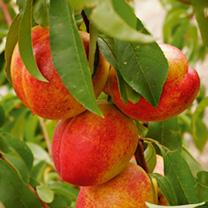 Nectarine Dwarf Fruit Tree - Madame Bloanchette