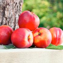 Nectarine Dwarf Fruit Tree - Madame Blanchette