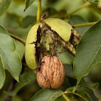 Image of Nut Tree - Walnut Europa