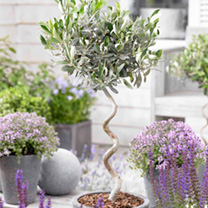 Olive Twisted Stem Tree - Twin Pack
