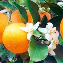 Image of Citrus Plant - Orange
