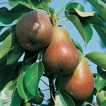 Family Fruit Tree - Pear