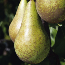 Pear Dwarf Fruit Tree - Conference