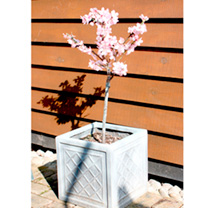 Peach Dwarf Fruit Tree - Avalon Pride