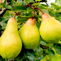 Pear Mini Tree - Pironi Little Sweety