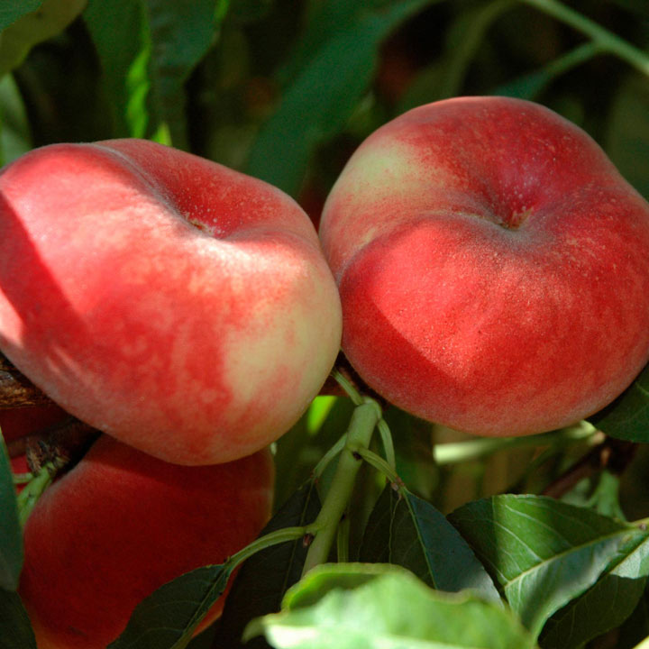 Peach Tree - Jalousia