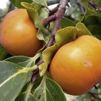 Image of Persimmon Tree - Kaki-Sharon Fruit
