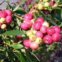 Pink Blueberry Plant - Pink Lemonade®