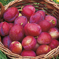 Gourmet Fruit Tree - Plum & Gage