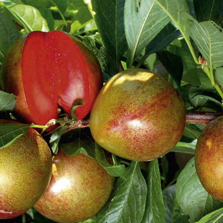 Pluot Tree - Flavour Supreme