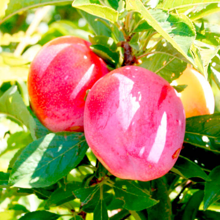 Pluot Tree - Pink Candy