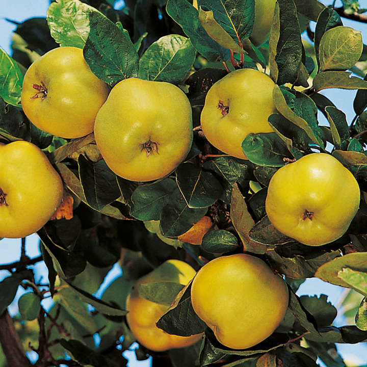 Quince Dwarf Fruit Tree