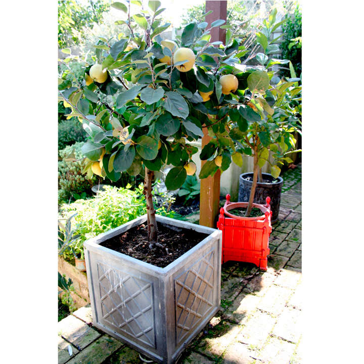 Patio Fruit Tree Quince - All Fruit Trees - Fruit Trees ...
