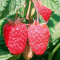Raspberry Plants - Cascade Delight