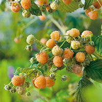 Raspberry Plant (Organic) - Golden Everest