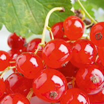 Image of Redcurrant Plant - Rovada