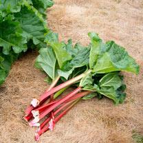 Rhubarb Plant - Livingstone
