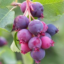 Saskatoon Berry (Amelanchier) Plant