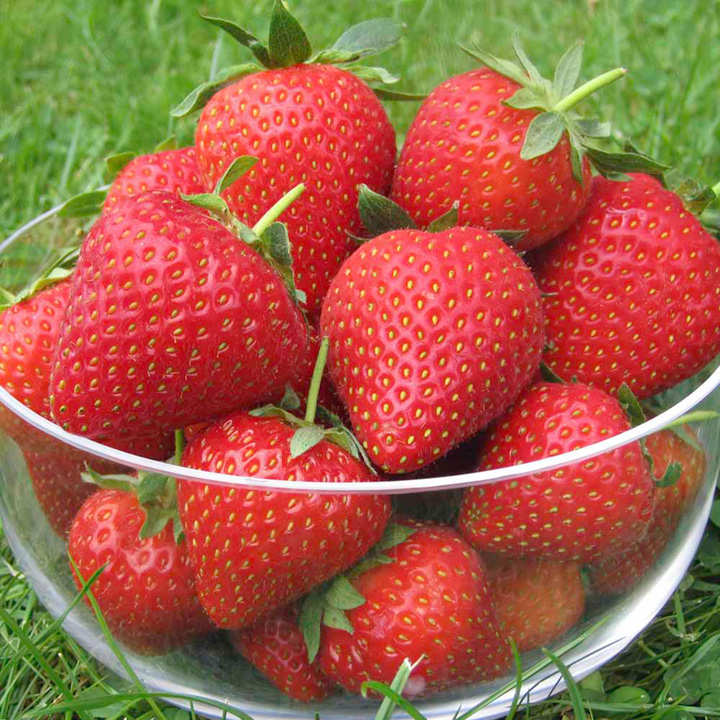 strawberry plants vibrant strawberries soft fruit